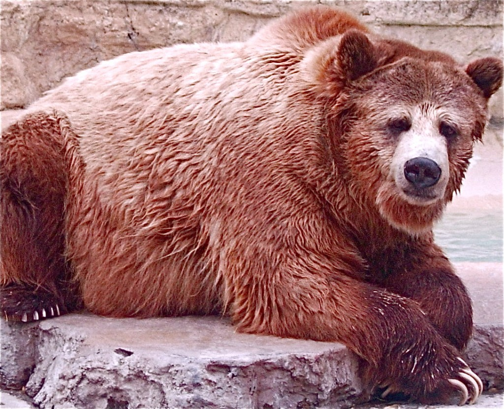 Grizzly Bear at the San Antonio Zoo, Texas. Photo by Mix Hart