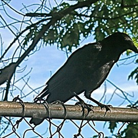 Ode To The Crow