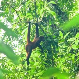 Monkeys of Corcovado