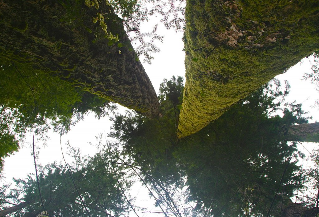 Boho Wild: Look WAY up! Douglas Fir giants, Cathedral Grove, BC