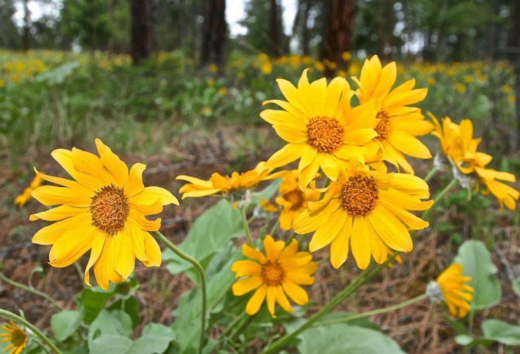 Balsam Root Flowers, Boho Wild