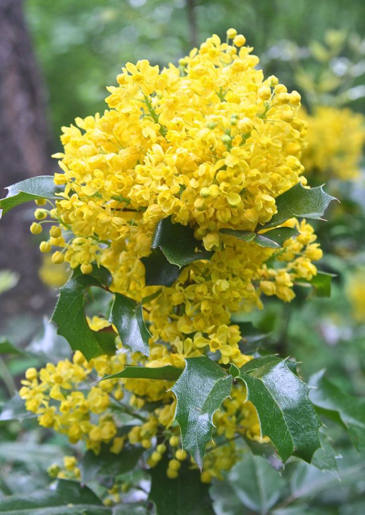 Oregon Grape Blossoms, Boho Wild