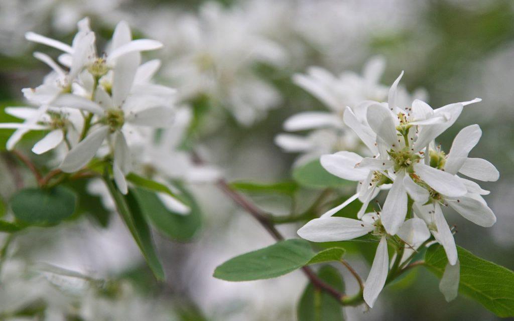 Saskatoon Berry Blossoms, Boho Wild