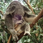 Life Down Under: Lone Pine Koala Sanctuary