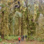 Moss Halls of Hoh Rainforest